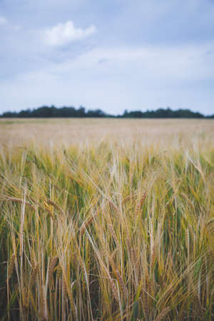 Golden Ears of Wheat Ripens in a Rural Meadow. Agriculture concept. A rich harvest of wheat.