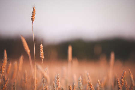 A huge field of wheat against the backdrop of a beautiful multi-colored sunset. Rye ripens in a rural meadow. Agriculture. A rich harvest of wheat. Toning and artificial noise 版權商用圖片