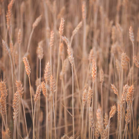 Wheat field in the rays of the setting sun. Ears of rye ripen in a rural meadow. Agriculture. A rich harvest of wheat. Food concept. Toning and artificial noise Banco de Imagens