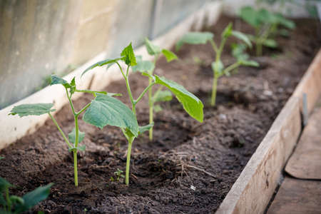 Sprouts of organic cucumbers in the garden. Seedlings in the greenhouse. Farming, gardening and healthy food concept.