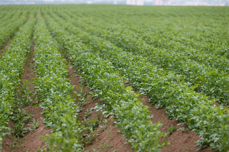 Endless rows of fresh green young potato plants. Agriculture. Growing organic vegetables in the field. Selective focus