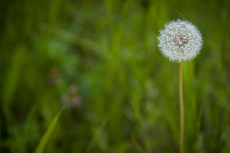 Lonely beautiful dandelion in a meadow in the park. The symbol of spring. Amazing meadow with wildflowers. Beautiful rural landscape in perspective.