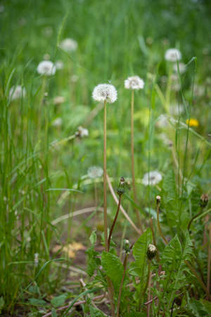 Dandelions in the meadow. The symbol of spring. Amazing meadow with wildflowers. Beautiful rural landscape in perspective. Selective focus