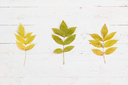 Three branches with leaves of young ash. Top view on yellowed ash leaves in autumn. Autumn concept