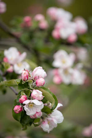 Blooming apple tree branches in the park. A branch of pink apple tree flowers on a flowering young tree. Allergy Season. Spring concept. Soft focus