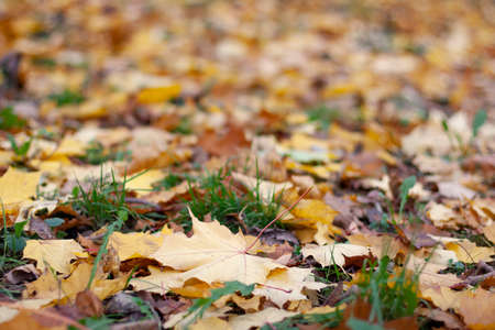 Autumn marple leaves on the grass and road. Natural background.