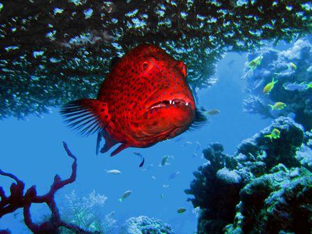 cernia: cernia nell'ambito di un corallo nel mare
