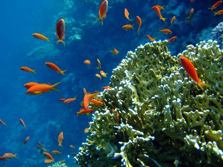 anthias: Scalefin Anthias in the Red Sea and coral in blue Stock Photo