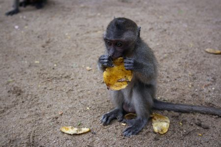 lovable: Young lovable monkey eating banana. it is a curiosity
