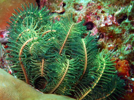 Green sea lily close-up. Similan islands photo
