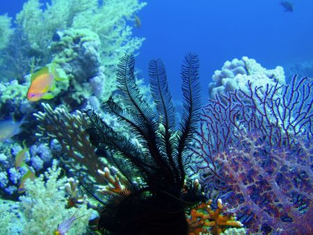 Underwater landscape with sea lily and coral  photo