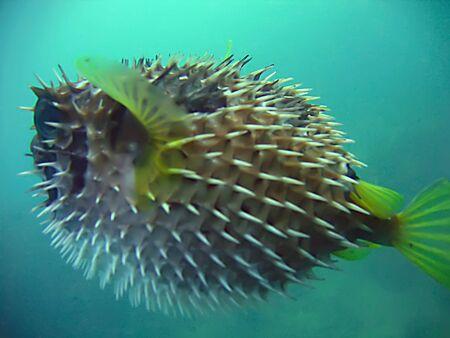 alive porcupine fish in the blue. siam