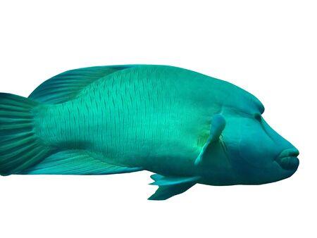 napoleon fish: Napoleon fish isolated Stock Photo
