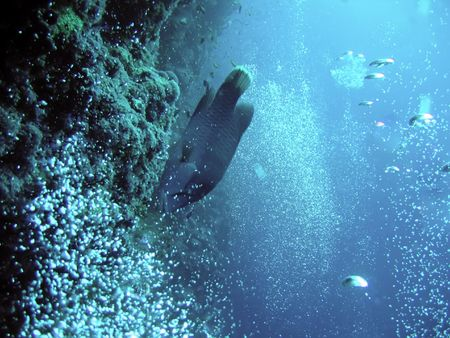 napoleon fish: underwater. napoleon fish and bubbles. the red sea