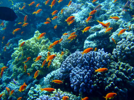 anthias: Underwater landscape with Scalefin Anthias. Red Sea