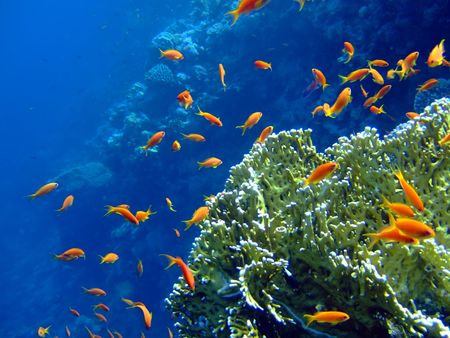 Underwater landscape with coral snd Scalefin Anthias. Red Sea photo