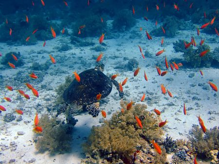 Underwater landscape with turtle and many small fish. The Red Sea photo