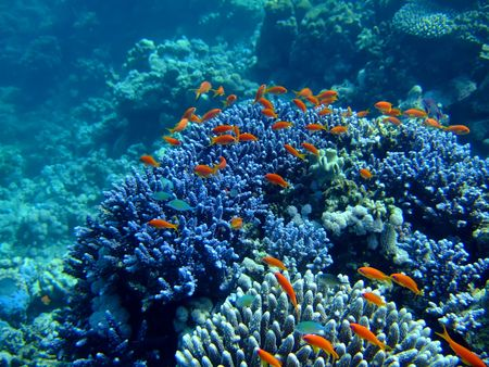 anthias: Underwater landscape with Scalefin Anthias and coral. Red Sea
