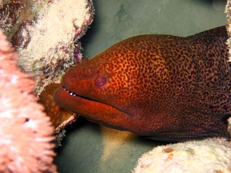 Undulated Moray Eel in deep. Red sea photo