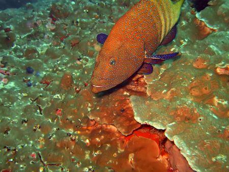cernia: Epinephelinae close-up rosso. Isole Similan