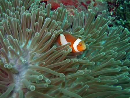 windflower: Anemone and Nemoish. Andaman sea. Similan islands.