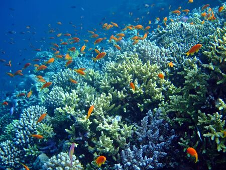 Underwater landscape with school Scalefin Anthias and coral. Red Sea
