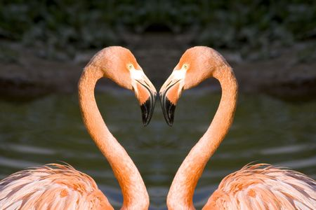 Two pink flamingos in love photo