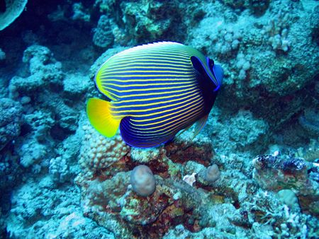 Tropical angelfish in blue. Red Sea Imagens