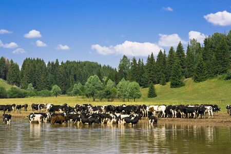 husbandry: Rural landscape with herd of cows Stock Photo