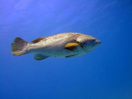 Big grouper in blue. Red Sea photo