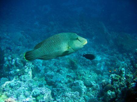 napoleon fish: Napoleon fish. Red sea