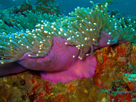 Andaman sea. Similan islands. Macro magenta anemone.