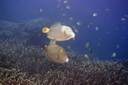 Couple of tropical fishes Half-moon Triggerfish (Sufflamen  chrysopterusmappa). Maldives. Indian ocean. Addu atoll. Stock Photo - 1929981