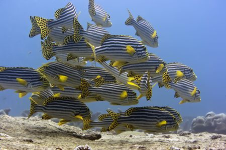 School of Tropical fishes Oriental sweetlips (Plectorhynchus Orientalis). Maldives. Indian ocean. Addu atoll. photo