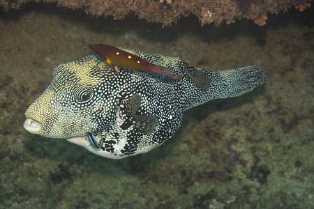 arothron: Tropical fish Scribbed Pufferfish (Arothron mappa). Maldives. Indian ocean. Addu atoll. Stock Photo