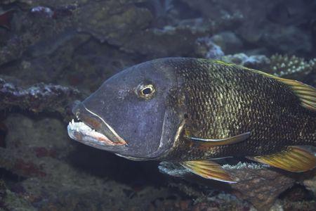 Tropical fish Emperor (Lethrinus erythracanthus). Maldives. Indian ocean. Addu atoll. photo