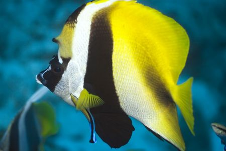 atoll: Tropical fish ButterflyFish (Chaetodon). Maldives. Indian ocean. Addu atoll. Stock Photo