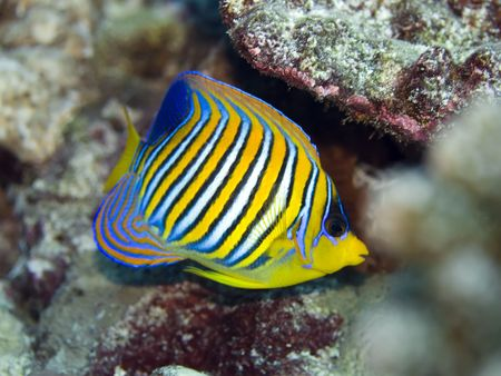 royal angelfish: Tropical fish Royal Angelfish (Pygoplites diacanthus). Maldives. Indian ocean. Addu atoll.