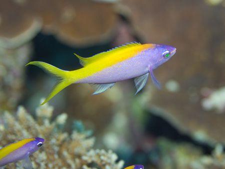 Tropical fish Yellow tail Anthias (Pseudoanthias  evansi). Maldives. Indian ocean. Addu atoll. photo
