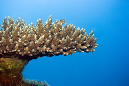 acropora: Hard coral and Horseshoe Howkfish. Maldives. Indian ocean. Addu atoll. Stock Photo