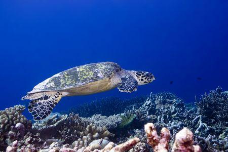 Imbricated Turtle (Eretmochelus imbricata) close-up. Maldives. Indian ocean. Addu atoll. photo
