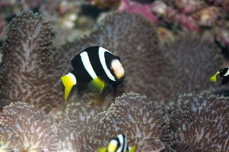anemonefish: Clarks Anemonefish (Amphiprion clarkii) Maldives. Indian ocean.