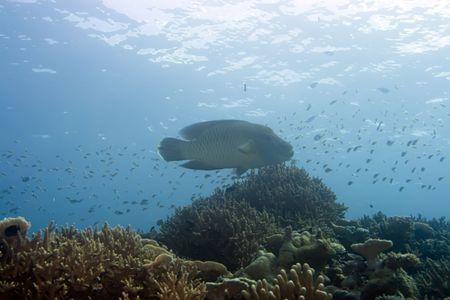 napoleon fish: Tropical fish Napoleon underwater in coral garden. Maldives. Indian ocean. Addu atoll. Stock Photo