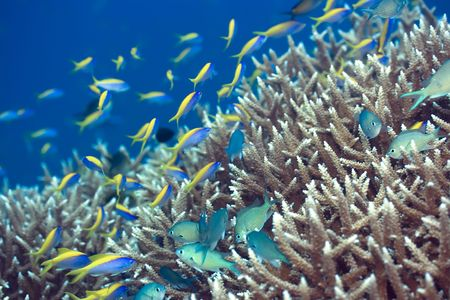 Underwater landscape with Blue-Green Chromis (Chromis viridis) and Yellow tail Anthias (Pseudoanthias  evansi). photo