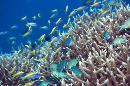 anthias fish: Underwater landscape with Blue-Green Chromis (Chromis viridis) and Yellow tail Anthias (Pseudoanthias  evansi). Stock Photo