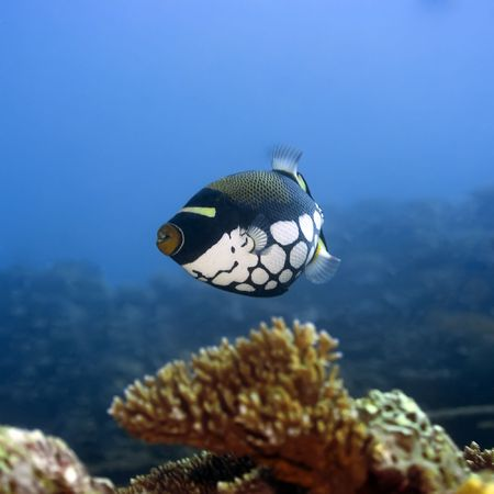 balistoides: Tropical fish  Clown Triggerfish (Balistoides conspisillum). Maldives. Indian ocean. Addu atoll.