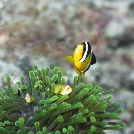 Clarks Anemonefish (Amphiprion clarkii) Maldives. Indian ocean. Addu atoll. photo