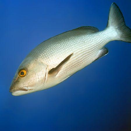Tropical fish Twinspot Snapper (Lutjanus bohar). Maldives. Indian ocean. Addu atoll. photo