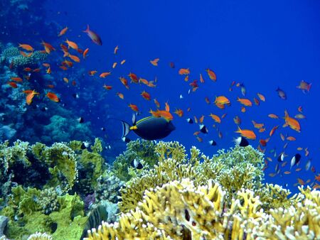 Underwater landscape with Scalefin Anthias and Surgeonfish. Red Sea Stock Photo - 2471721
