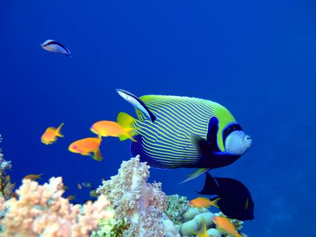 Tropical fish Angelfish and Scalefin Anthias. Red Sea photo